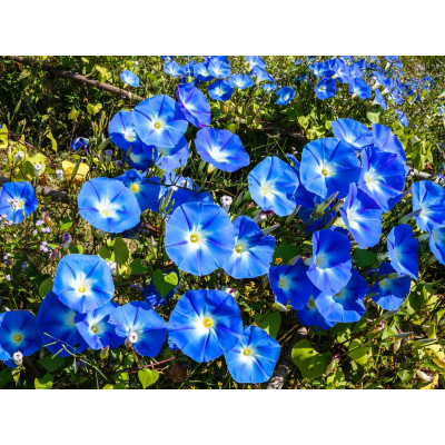 Morning Glory Flowering Seeds