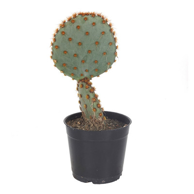 Old Man Whiskers Cactus/Opuntia aciculata