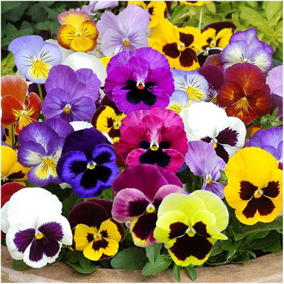 Pansy Mixed Flowering Seeds