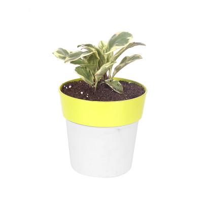 Paperomia Obtusifolia Varigated
