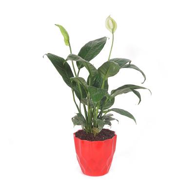 Peace Lily - Spethiphyllum Wallisii