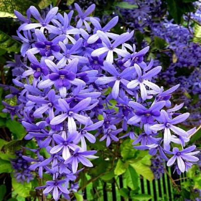 Petrea volubilis (Nilmoni lata) Purplecolor plant