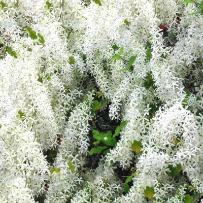 Petrea volubilis (Nilmoni lata) White color plant
