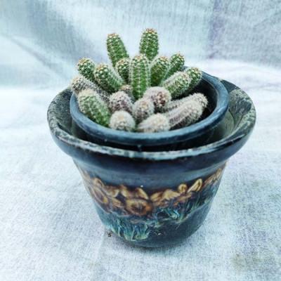 Strawberry Hedgehog Cactus Plants