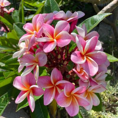 Pramila Pink flower plants