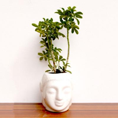 Saplera Plant or Schefflera Plant