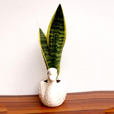 Snake - Sanseviera Trifasciata Plant