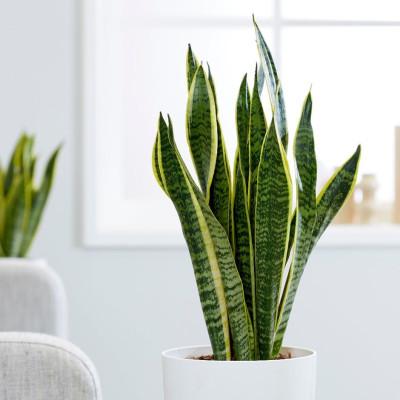 Snake - Sansevieria Trifasciata Plant