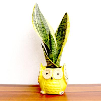 Snake - Sanseviera Trifasciata Plant With Owl Face Ceramic Planter