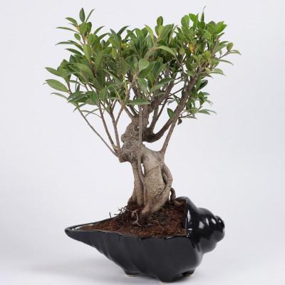Ficus Microcarpa Bonsai Plant