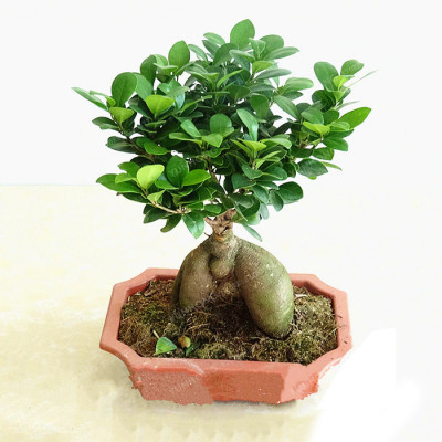 Ficus Old Roots Bonsai
