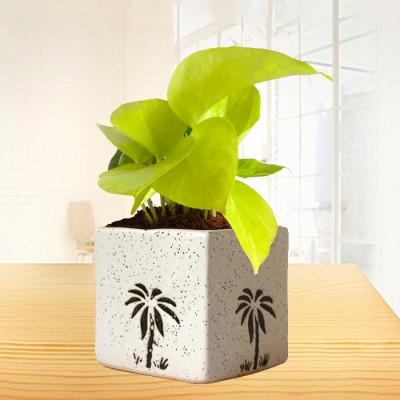 Golden Money Plant in Ceramic White Pot