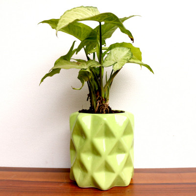 Syngonium Plant With Dotted Ceramic Planter