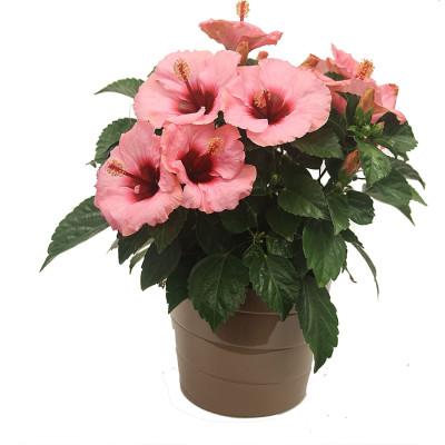 Tiliaceus Hybiscus plants