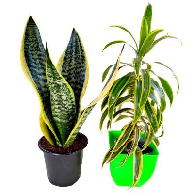Top 2 Air Purifier Plants combo