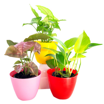 Top 3 Air Purifier Syngonium & Money Plant Combo