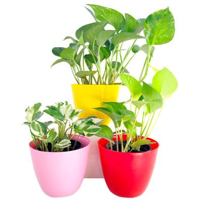 Top 3 Lovely Money Plants Pack for Priceless Love