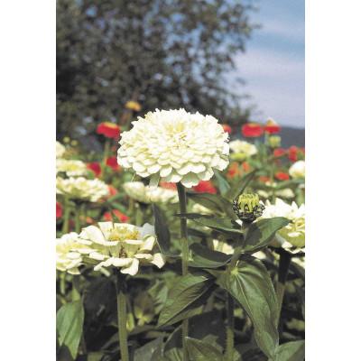 Zinnia Giant White Flowering Seeds