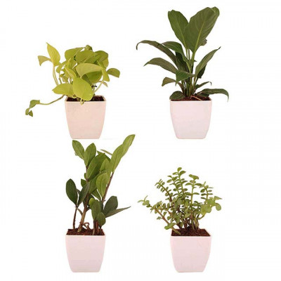 Combo of 4 Air Purifier Plants
